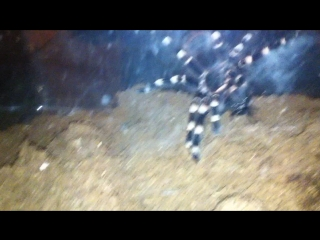 Геникулята в первый раз жрёт мадагаскарского шипящего