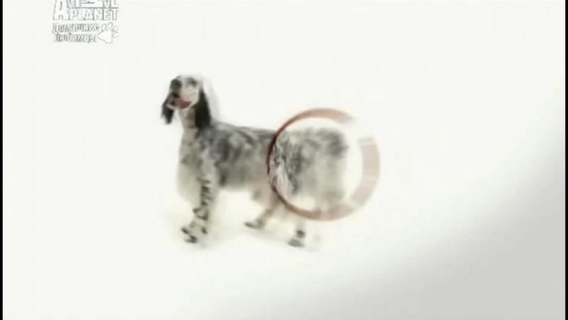 Английский сеттер, все породы собак, 101 dogs. Введение в собаковедение.