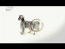 Английский сеттер все породы собак 101 dogs Введение в собаковедение