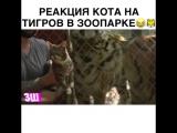 Реакция кота на тигров