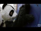 Dancing Panda Bears!
