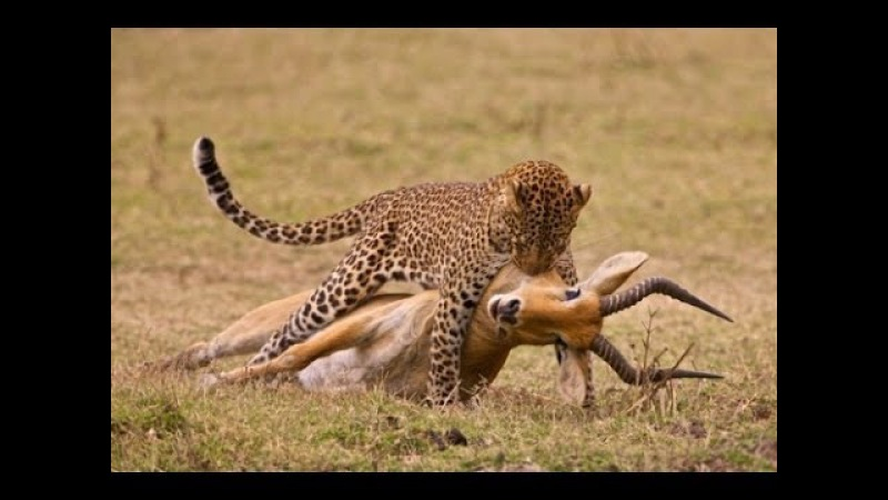 Tiger Attack Deer - Catch And Kill Deer Best Attack [animals attack]