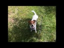 Джек Рассел Камон_снег в мае _летние денечки _прогулка-собачья радость