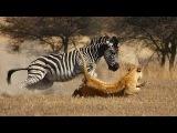 Zebra vs King lion vs Buffalo - c