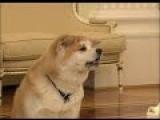 Собака Путина по кличке Юмэ