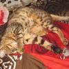 Бенгальские кошки, котята | Питомник Felis Catus