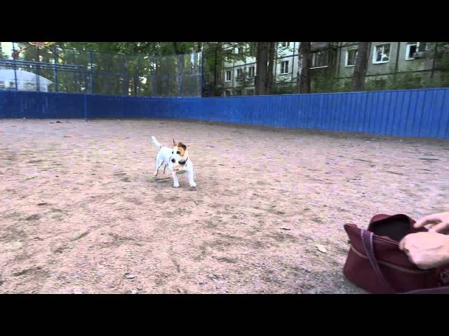 Джек Рассел терьер - самая умная собака. А не послать ли нам гонца...?!!