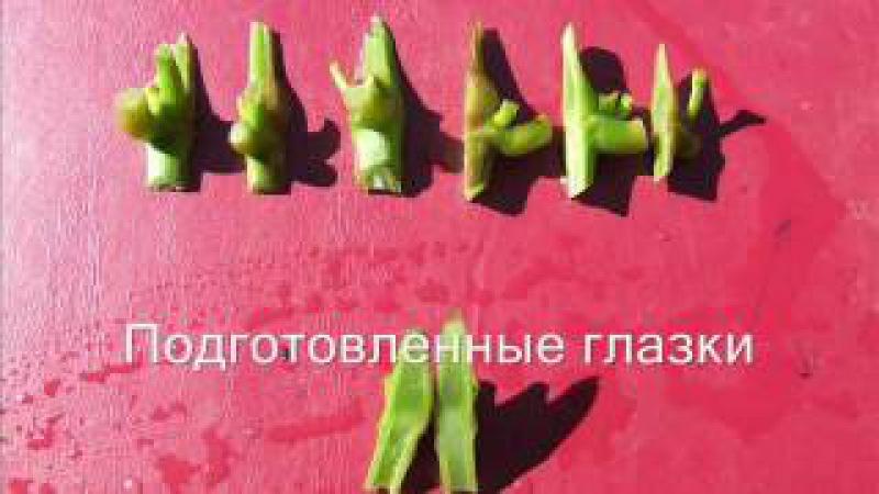 Прививка винограда - окулировка (Пузенко Наталья Лариасовна)