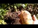 Секрет выращивания крупного картофеля Садо Мазо Водство
