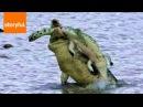 Нильский крокодил каннибал