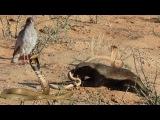 Cuộc chiến chết chóc rắn hổ mang chúa X sóc , lửng mật , chồn - big king cobra vs honey badger