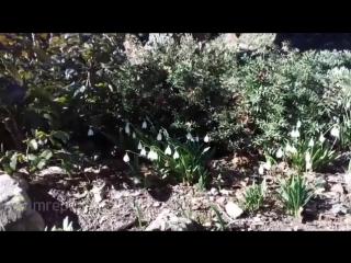 В Ялте зацвели подснежники. Всего несколько недель назад был снег и мороз, а сейчас весна!