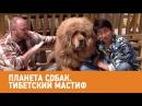 Тибетский мастиф Планета собак 🌏 Моя Планета