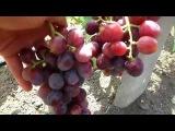ОБЗОР сверх(ультра)ранних сортов винограда на 17 июля 2017 года.