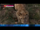 Суд в Саратовской области запретил выгуливать в общественных местах львицу