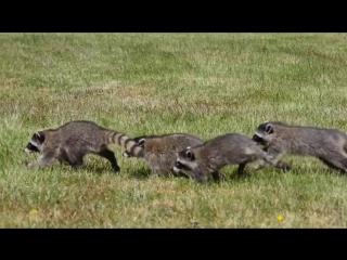 Еноты бегают за хозяйкой