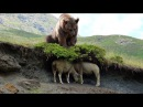 Wild Animals 2017 - Bear Vs Animals - Leopard, Tiger, Anaconda, Dog, wildebeests, Seal 베어 대 동물