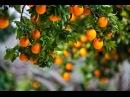 Как самому в домашних условиях вырастить мандарин из косточки