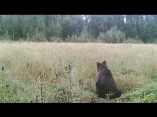 Медвежонок на овсяном поле