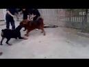 собачьи бои 18 Ротвейлер vs Тибетский Мастиф