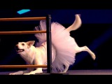 Собака танцует балет (Минута славы 2017)