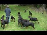 AMAZING ROTTWEILER KENNEL HARDRADA IN NZ 1