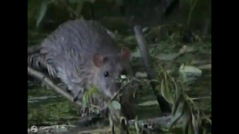 Серая крыса (пасюк)