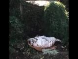 Белый_тигр,_играющий_с_картонной_коробкой____FunFailTop_2017FunFailTop18