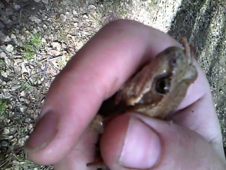Лягушка. Первый раз в жизни держала живую лесную лягушку!