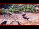 Most Amazing Wild Animals Attacks #24 Big Battle Animals Fight - Giant Anaconda attacks Dog