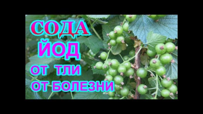 СОДА КАЛЬЦИНИРОВАННАЯ ЙОД = СУПЕР СРЕДСТВО от ТЛИ, серой гнили ,мучнистой росы - всех растений..
