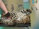 В мире животных. Леопарды