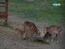В мире животных. Муфлоны