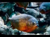 Голодные Амазонские Пираньи Дома!! Hungry Piranhas