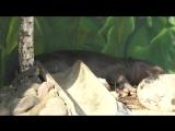 Послеобеденный сон с бегемотиком в Московском зоопарке