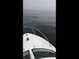 Акулы,  охота на симу