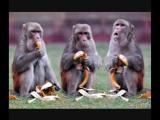 """""""Эффект сотой обезьяны"""" ( """"эффект критической массы"""")."""