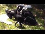 эротика видео! Секс обезьян. Камасутра отдыхает! Учитесь 18+