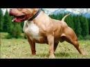 Питбуль чемпион мира по собачьим боям 2016 года