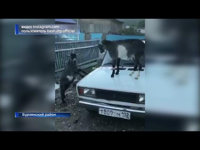 В Бурзянском районе козлы устроили разборку прямо на капоте машины
