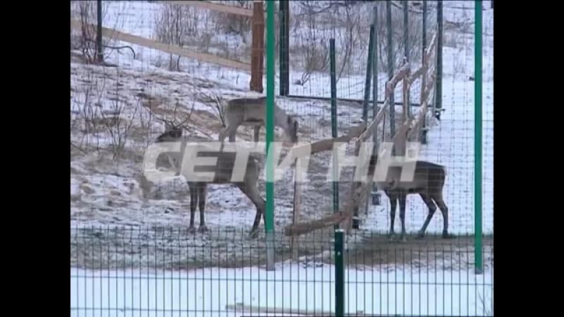 Северные олени в Керженском заповеднике