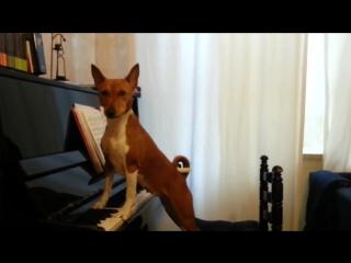 Поющая собака басенджи