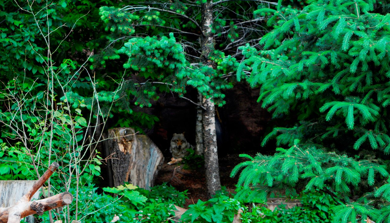 московский зоопарк - европейский волк