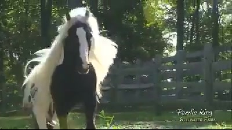 Gypsy Vanner stallion Pearlie King