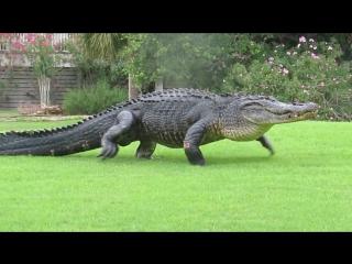 Просто аллигатор прогуливается по полю для гольфа