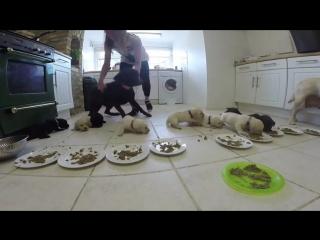 Завтрак щенков лабрадора
