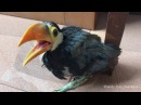 How baby toco toucan grows up. IG: @andy_hoo_brankass