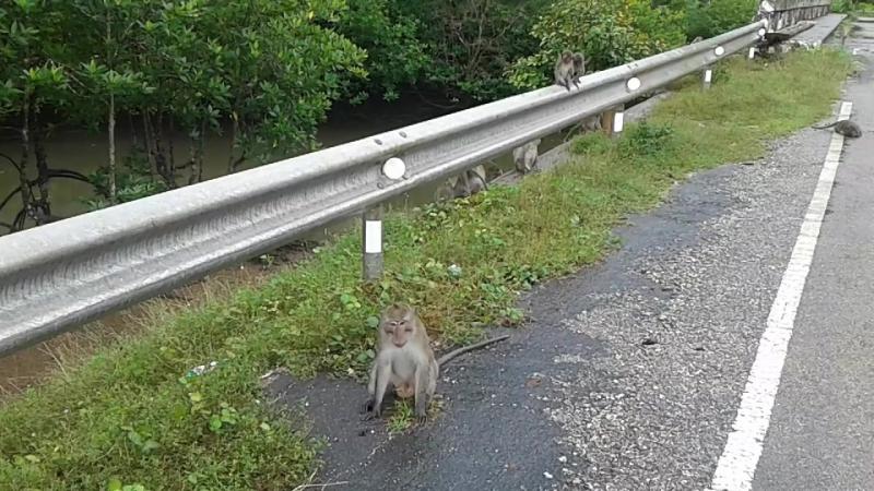 Как в Бразилии - группировки диких обезьян преграждают нам путь...