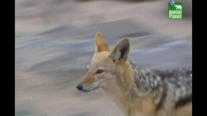 BBC «Заповедник в дебрях Африки» (06 серия) (Реальное ТВ, животные, 2005)