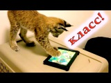 Ашера кот - Играет на iPad Ashera cat playing on the tablet
